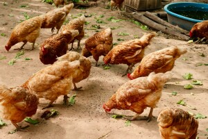 Village chickens in action